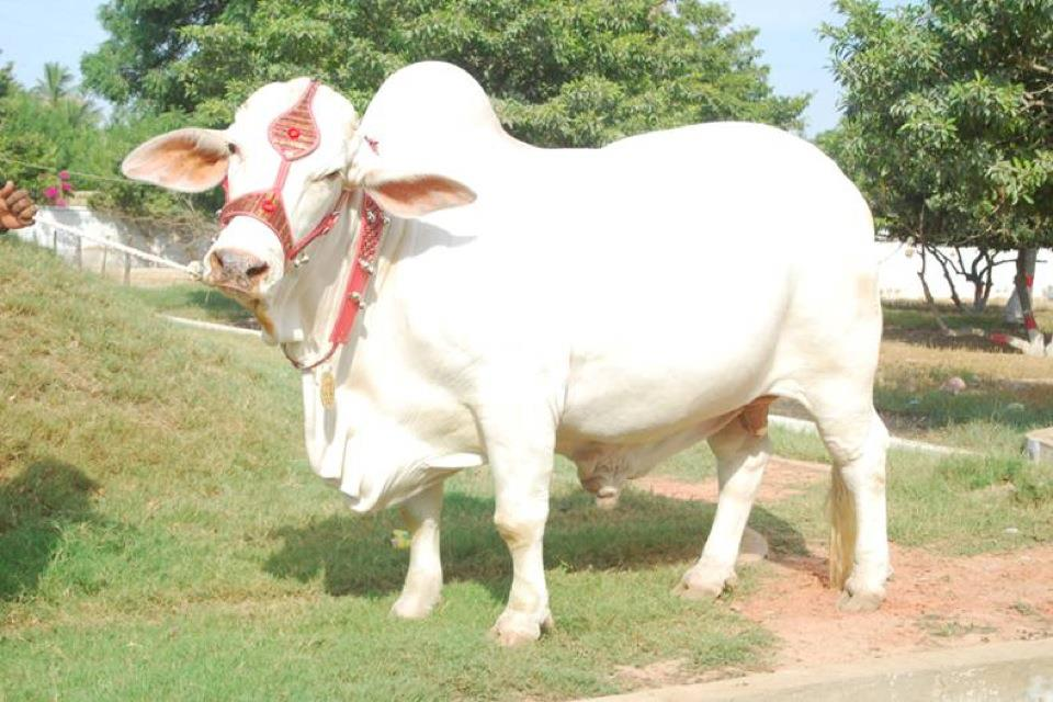 Pakistan Biggest Cow